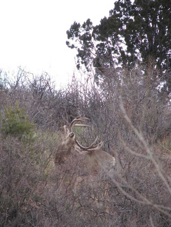 Giant Colorado mule deer on spotted on the west side of Colorado Springs.