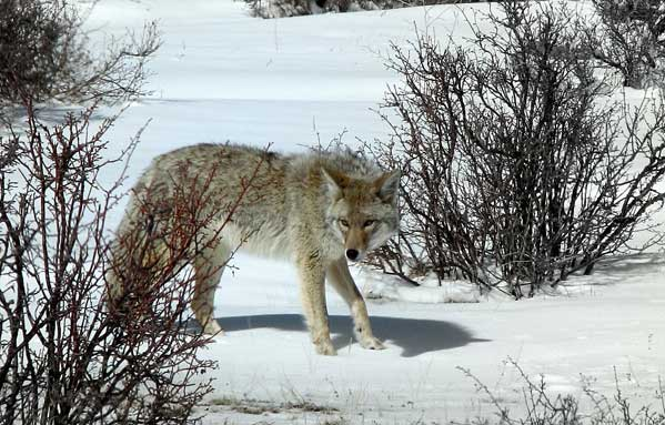 Coyote on the prowl. So glad he paused and let me take this photo.